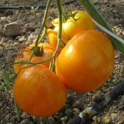 томат жемчужина джанет на кустах