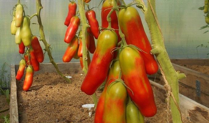 томат казанова в теплице