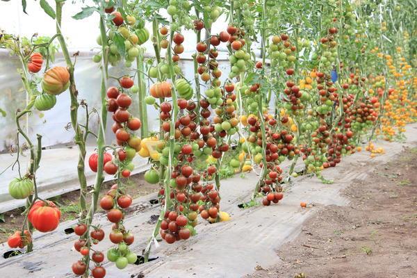 урожайность томата черный жемчуг