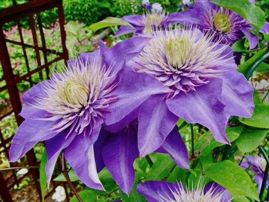 цветение клематиса мульти блю