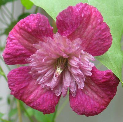 цветок клематиса авангард