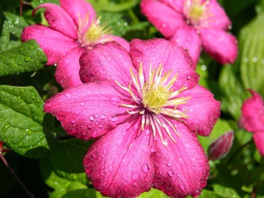 цветок клематиса виль де лион