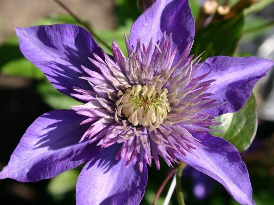 цветок клематиса мульти блю