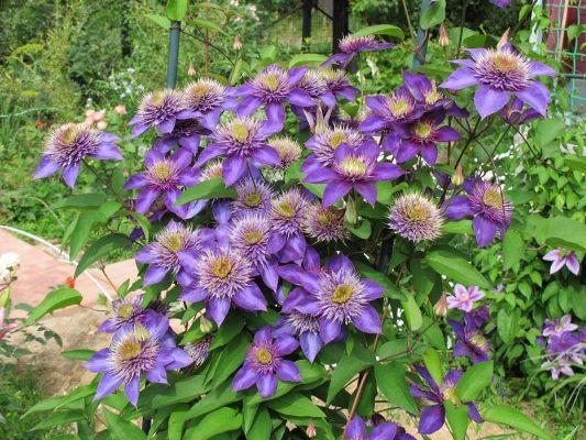 цветущий куст клематиса мульти блю