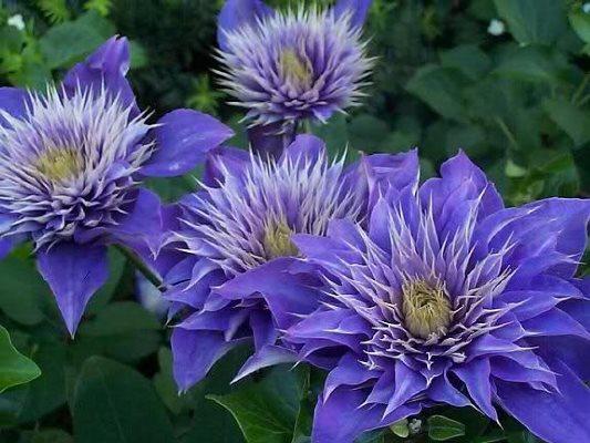 цветы клематиса мульти блю