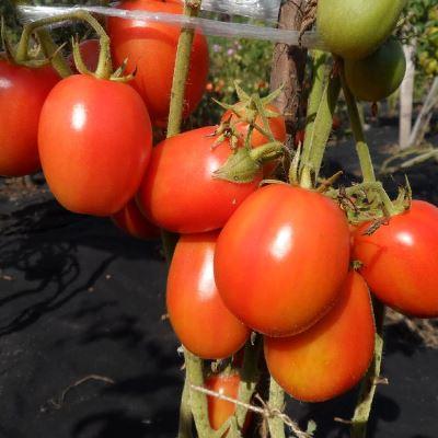 жемчужина сибири томат описание