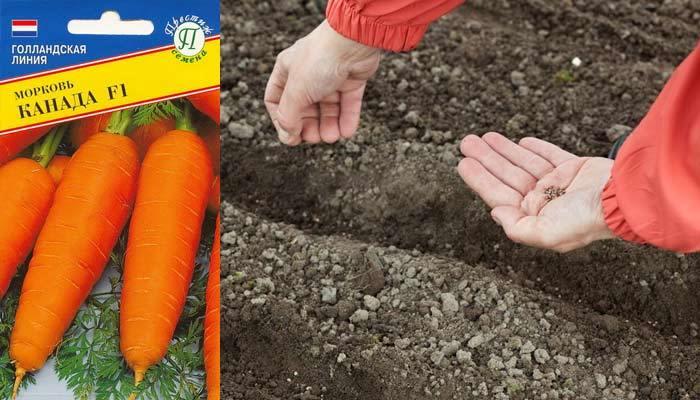 посев моркови канада F1