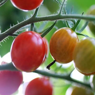 применение томата красная жемчужина