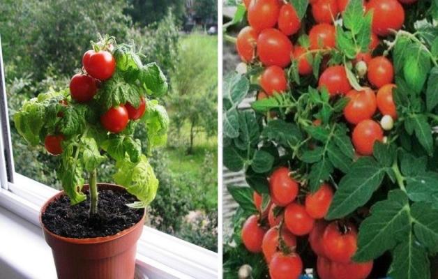 томат жемчужина красная выращивание