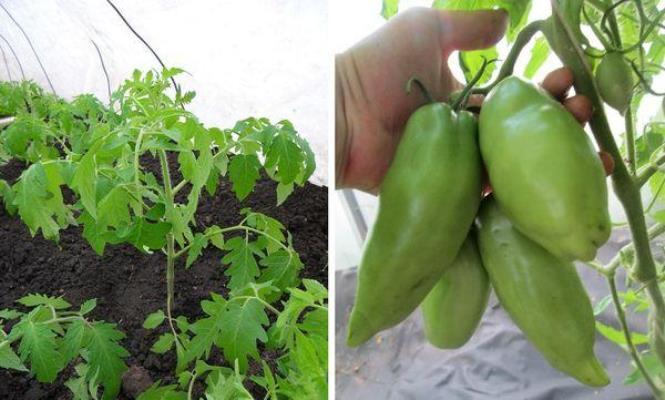 томат жемчужина сибири отзывы