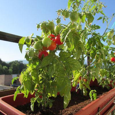 томат красная жемчужина на балконе