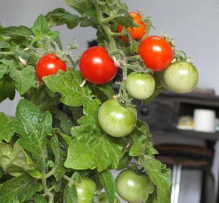 томат красная жемчужина