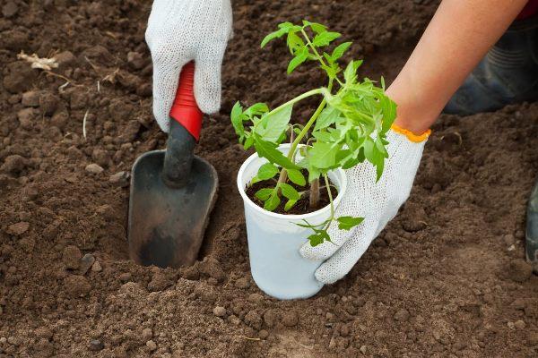 томат посадка в грунт