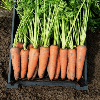урожайность моркови канада F1