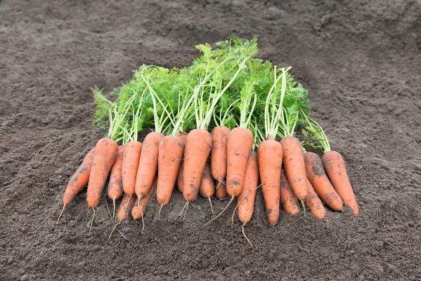 фото моркови канада f1