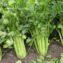 черешковый сельдерей выращивание и уход
