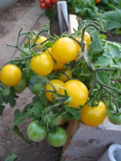 выращивание томата желтая жемчужина