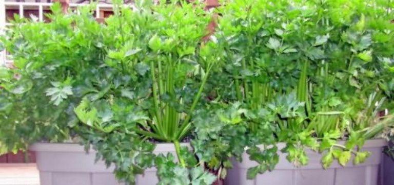 как вырастить листовой сельдерей дома