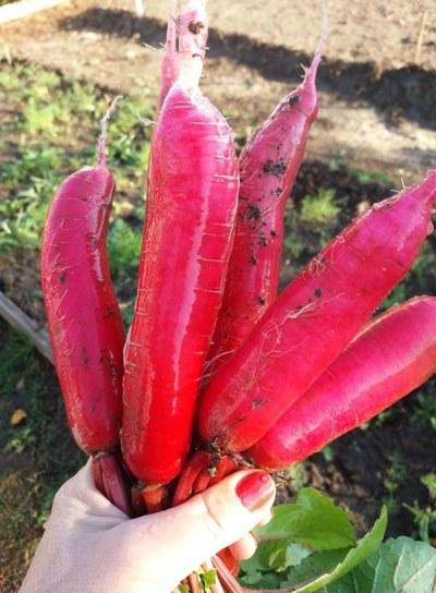 отзывы о редисе красный великан