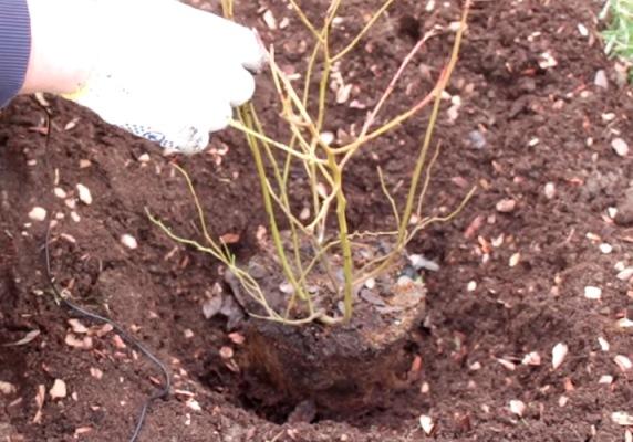 посадка садовой голубики