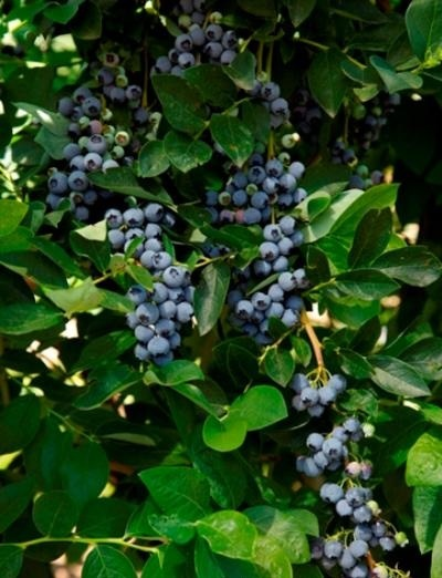 садовая голубика блюджей