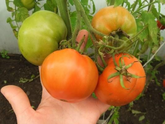 сорт томата болгарский жемчуг