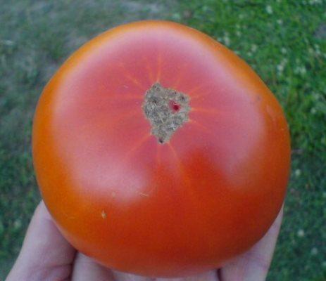томат болгарский жемчуг