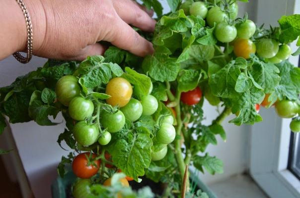 томат на балконе