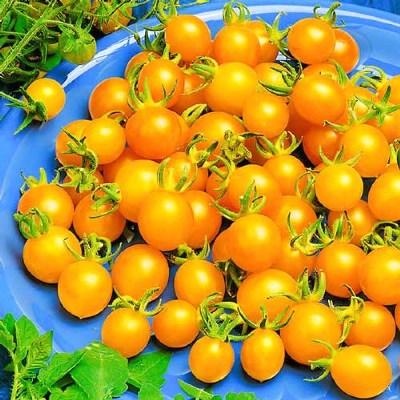 урожайность томата желтая жемчужина