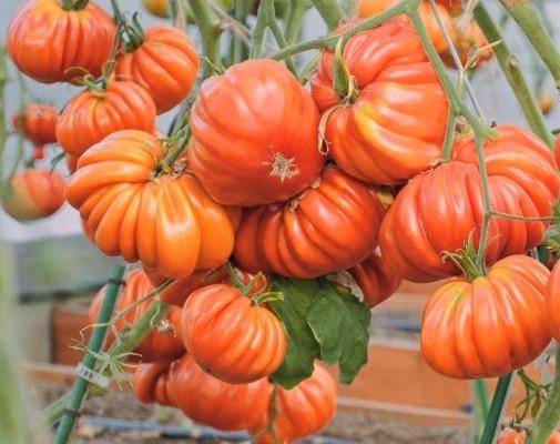 урожайность томата нина