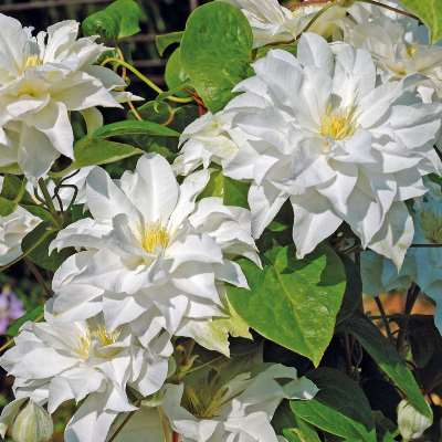 цветение клематиса мария склодовская кюри