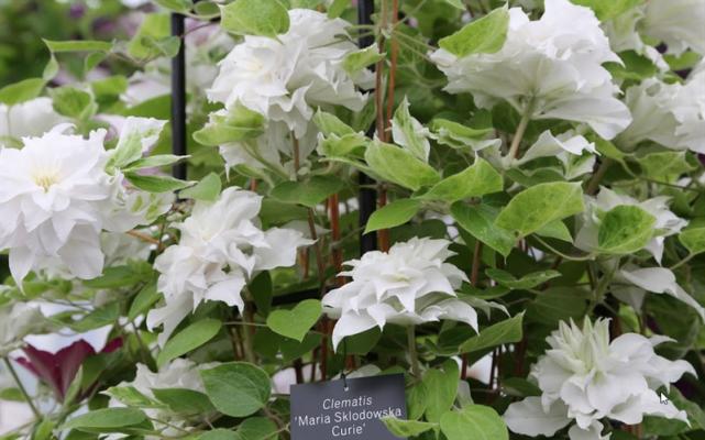 цветок клематиса мария склодовская кюри