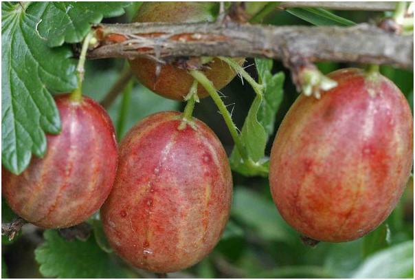 ягоды крыжовника сеянец смены