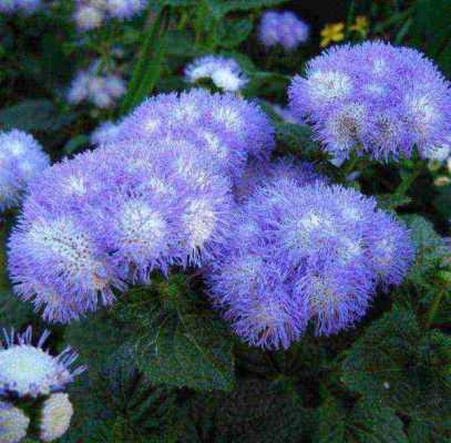 выращивание из семян агератума голубой шар