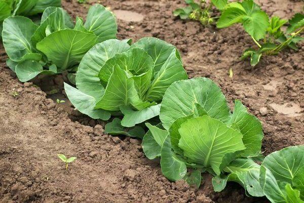 выращивание капусты надежда
