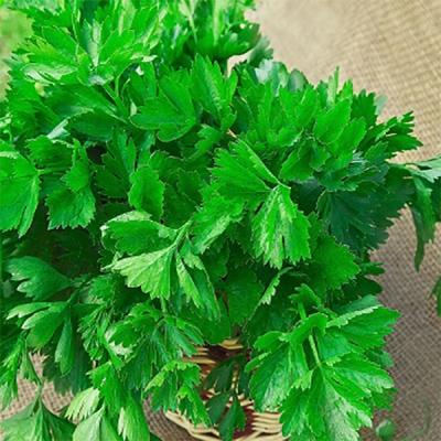 листовой сельдерей бодрость