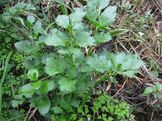 посадка листового сельдерея в грунт