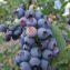 урожайность голубики блюэтта