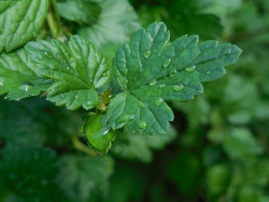 листья крыжовника лечебные свойства и противопоказания