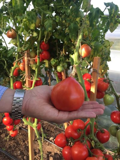 томат антюфей ф1 отзывы