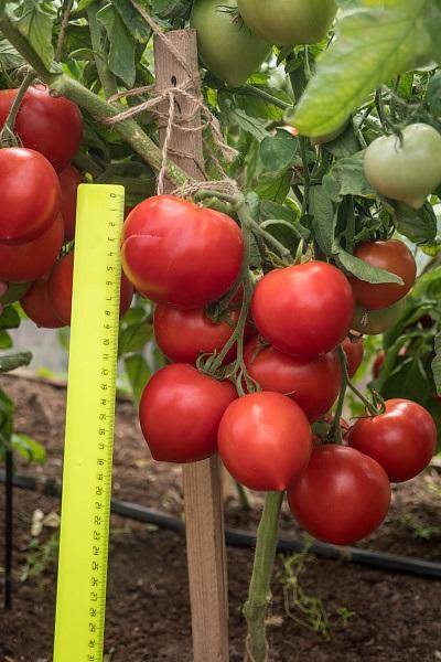 томаты антюфей описание сорта