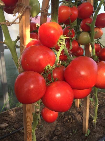 томат сорт антюфей