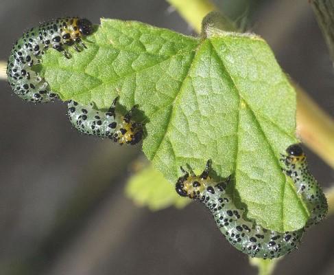 гусеницы на крыжовнике объели листья