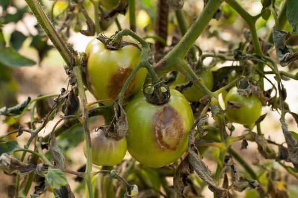фитоспорин от фитофторы на помидорах