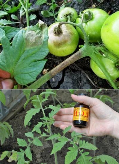 обработка помидор от фитофторы молоком и йодом