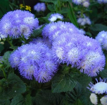 цветы агератум голубая норка