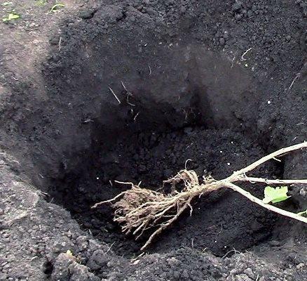 как правильно посадить крыжовник осенью на даче