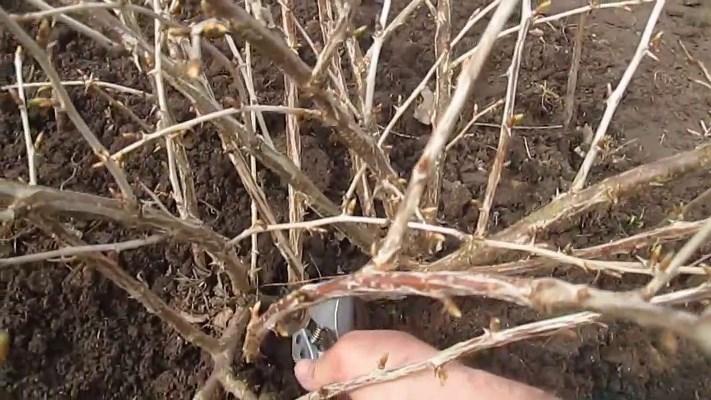 как правильно обрезать крыжовник осенью