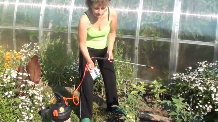 фитофтороз томатов лечение фитоспорином