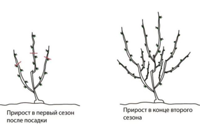 крыжовник обрезка и уход осенью